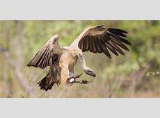 Vultures on downward spiral | Africa's threatened wildlife ... 134d
