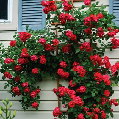 buy climbing rose red  seeds   nursery