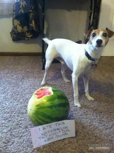 is watermelon bad for dogs watermelon thief dogshaming watermelon