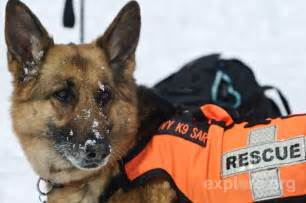 Rescue Dogs Search And Rescue Dogs Animals Wiki