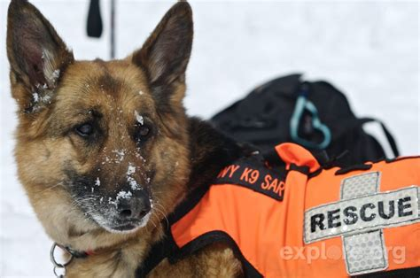 search dogs search and rescue dogs animal literature