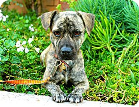 basset pug mix puppy adopted los angeles ca pug basset hound mix