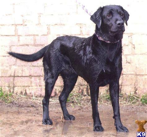 working golden retriever breeders uk labrador retriever breeders puppies for sale in