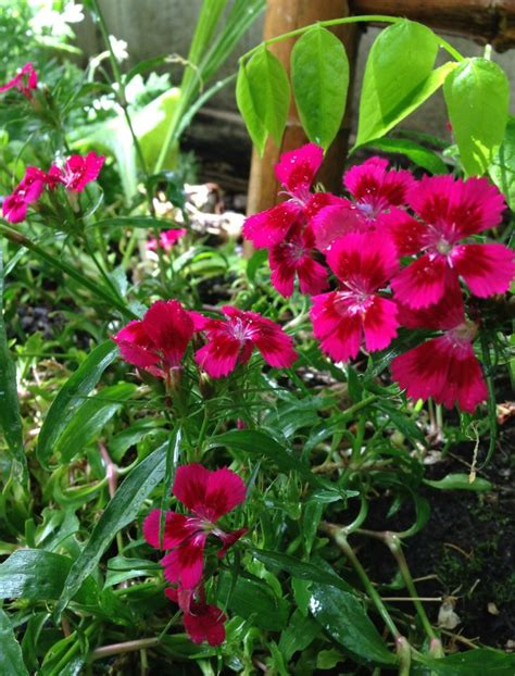 perennial flower that comes back every year garden