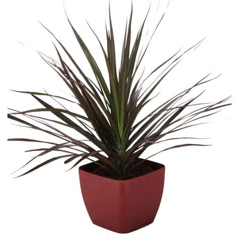 tronchetto pianta appartamento tronchetto della felicita domande e risposte piante