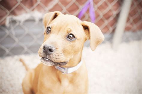 adopt a denver adopt from a no kill shelter lifeline puppy rescue s adoptable puppies this week