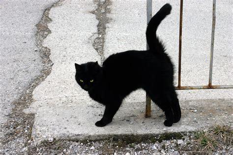 a black cat file a black cat jpg wikimedia commons