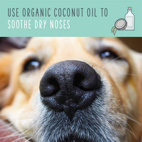 is coconut for dogs coconut for dogs a remedy for pet health