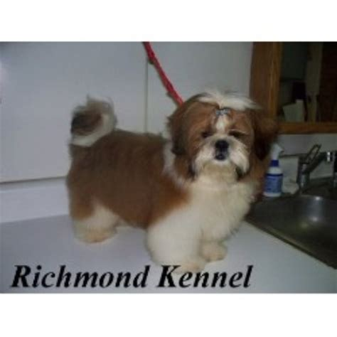 shih tzu rescue bay area shih tzus for sale in michigan pomsky picture breeds picture