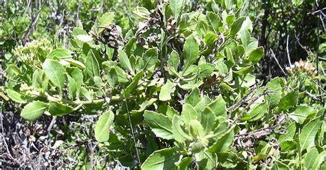 Tanaman Herbal Arbena Hutan 4 manfaat daun beluntas untuk kesehatan manfaat daun sirsak untuk kesehatan