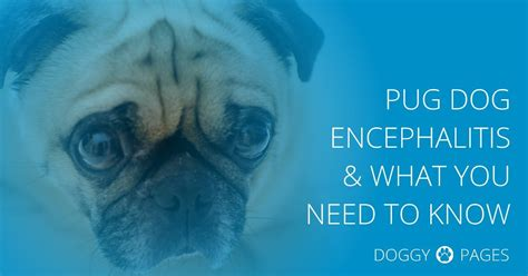 pug encephalitis pug encephalitis pde causes symptoms treatment