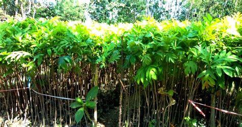 Jual Bibit Arwana Batam bibit tanaman murah jual bibit sukun di batam