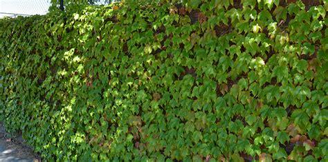 climbing plants perth climbing plants bulleen garden