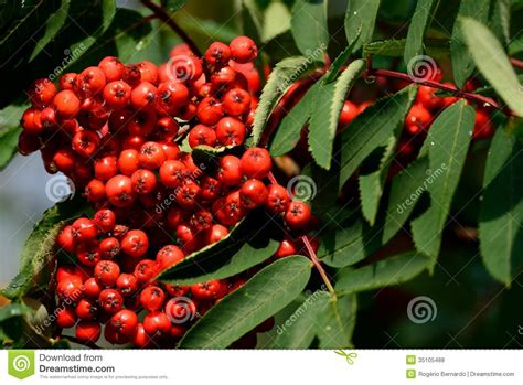 fruit of the service tree cormier royalty free stock photos image 35105488