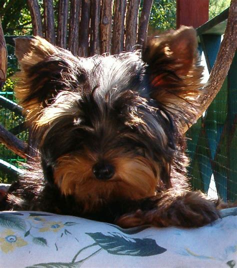 yorkie mating age yorkie image search results