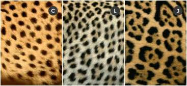 What Is The Difference Between Jaguar And Panther Difference Between Chettah Leopard And Jaguar The