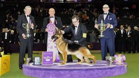 westminster show 2017 winner nyc westminster kennel club 2017 best in show part ii goes to trotting