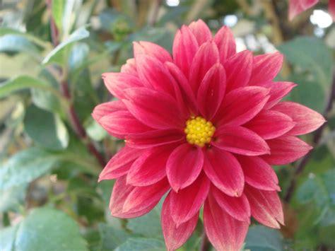 la flor de dalia laberinto im 225 genes de flores y plantas dalia