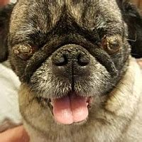 pug rescue va md dc summerfield nc pug meet 2016 3025 va a for adoption