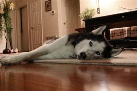 husky house unimaginably stupefying facts about the alaskan husky