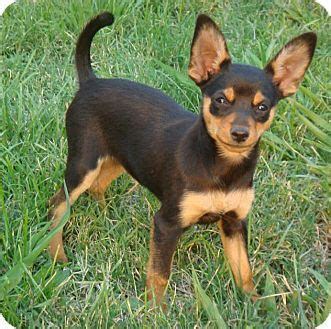 pinscher pomeranian mix oyster adopted puppy bluff ca miniature pinscher pomeranian mix