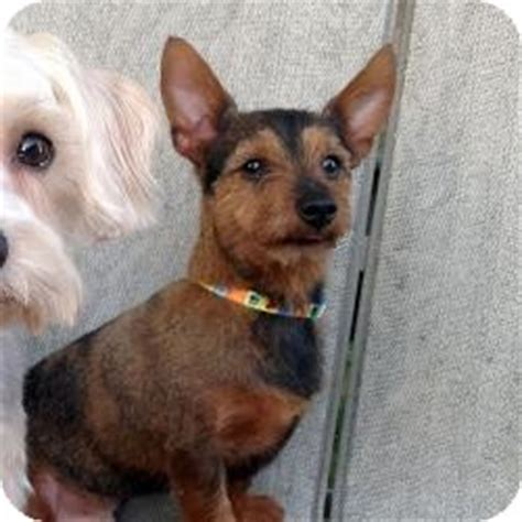 yorkie and dotson mix adopted carmine tx yorkie terrier dachshund mix