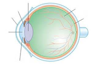 les constituants de l oeil