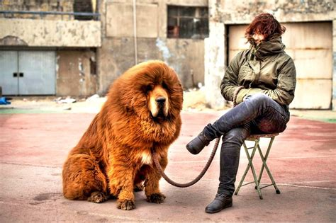 expensive dogs the 10 most expensive breeds in the world breeds picture