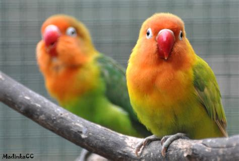 image gallery love bird species