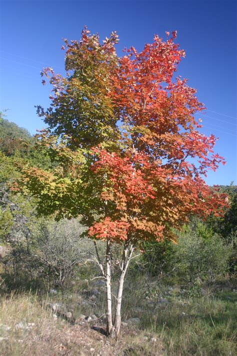 file bi colored maple tree jpg wikimedia commons