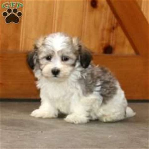 havachon puppies for sale havachon puppies for sale breed profile greenfield puppies