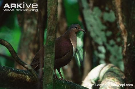 Forest Mba Closing by Ground Dove Photos And Facts Gallicolumba