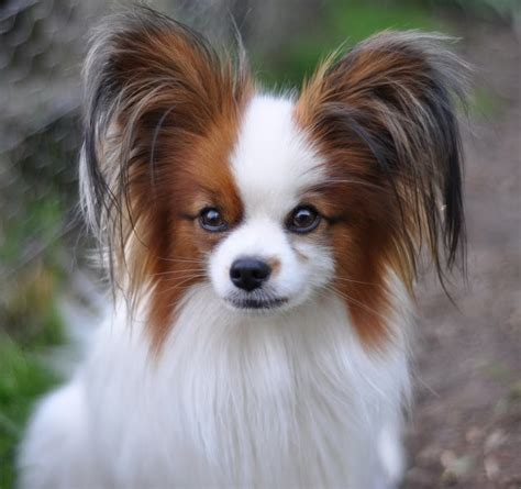 papillion tail how long to keep hair road s end papillons you ask how to grow long