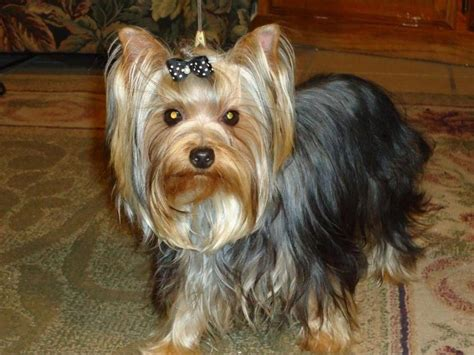 american yorkie terrier for sale by yorkie forever american kennel club