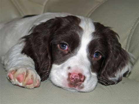 spaniel puppy springer spaniel puppies hd desktop backgrounds and images free wallpapers