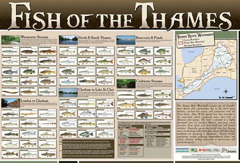 Thames River Ontario Fish Species | fish of the thames poster utrca inspiring a healthy