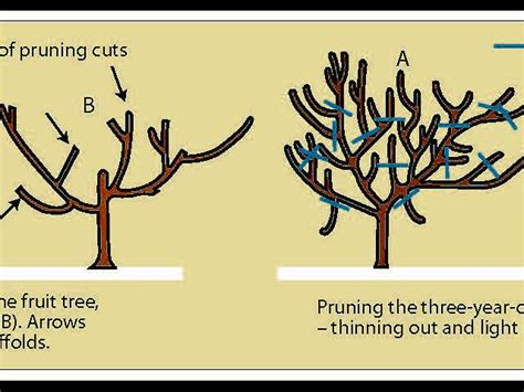 summer pruning fruit trees australia shaping deciduous fruit trees for non commercial growers