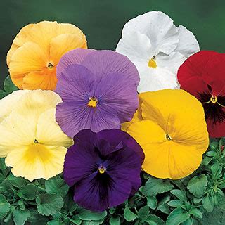 delta pure colors mix pansy seeds  park seed