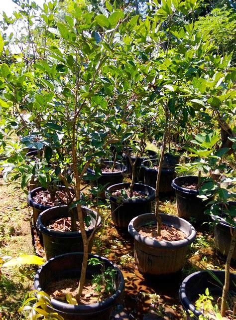 Bibit Pinang jual bibit rambutan di tanjung pinang jual bibit tanaman