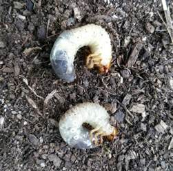 how to get rid of grub worms lawn grubs trueindia com au