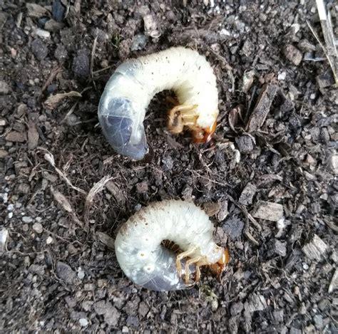 how to get rid of grub worms lawn grubs trueindia com au