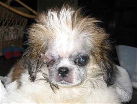 allergic to shih tzu shih tzu skin allergies breeds picture
