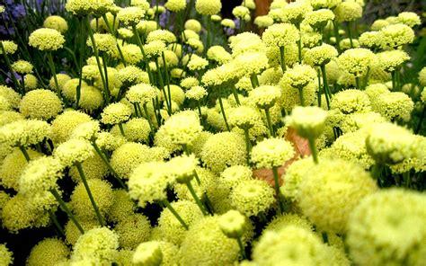 erika pflanze erika zypressenkraut pflanze zypressenkraut