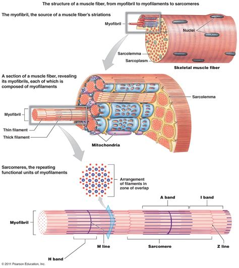 Similiar Muscle Fiber Diagram Keywords