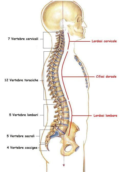 al coccige stando seduti lo scheletro tessuto osseo spugnoso tessuto osseo