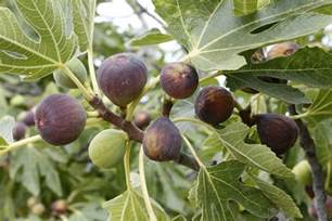 buying a tree fig tree buying guide ebay