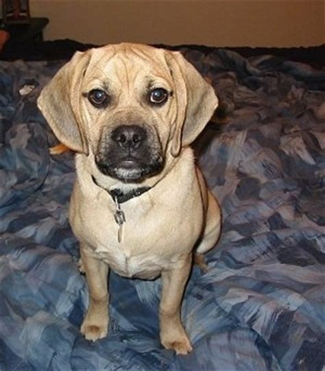 pugs cross beagle puggle breed information and pictures