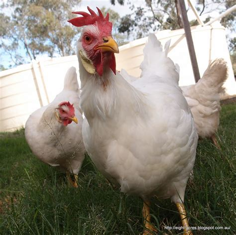 Backyard Chickens Nsw Chicken Breeds Nsw With Raising Chickens For