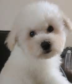 Bichon frise puppies for sale 163 350 posted 7 months ago for sale dogs