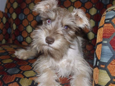 bow wow puppies bow wow schnauzer miniature schnauzer puppies for sale
